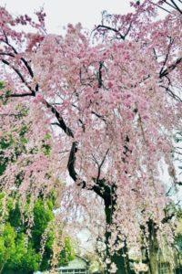 祐天寺 平塚幼稚園の桜
