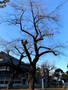 祐天寺の桜2020