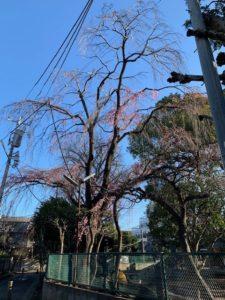 平塚幼稚園の桜2020年
