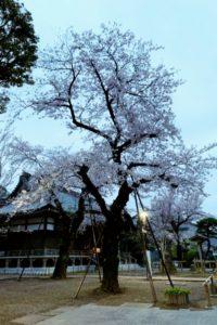 祐天寺の桜2020満開